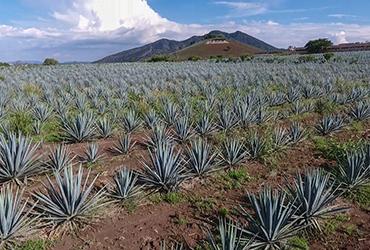 Tequila rompe récords de producción y exportación en 2020